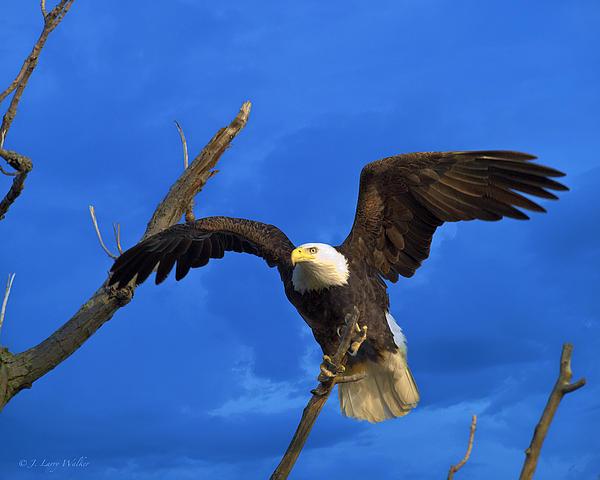 Bald Eagle Landing Print by J Larry Walker
