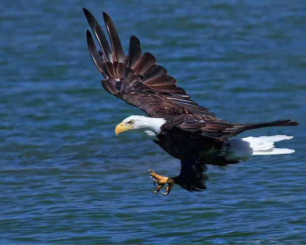 Bald Eagle On The Hunt Print by Beth Sargent