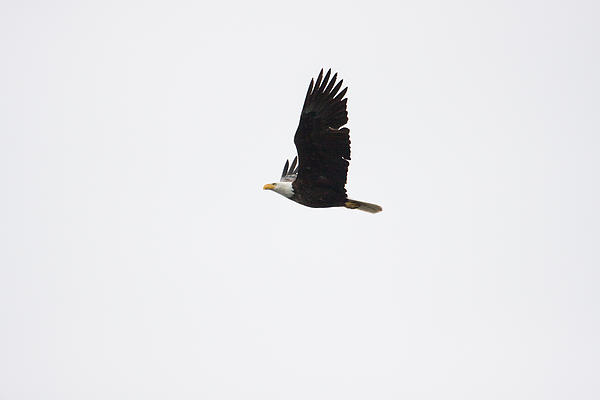 Bald Eagle One Print by Josh Whalen