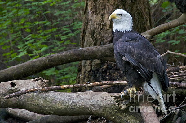 Bald Eagle Print by Sean Griffin