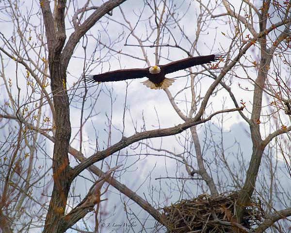 Bald Eagle Soaring Toward Me Print by J Larry Walker