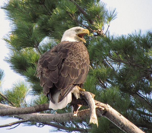 Mitch Spillane - Bald Eagle with Fish for her Baby Eaglets