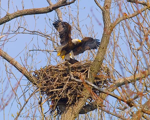 Bald Eagles Nest Print by J Larry Walker