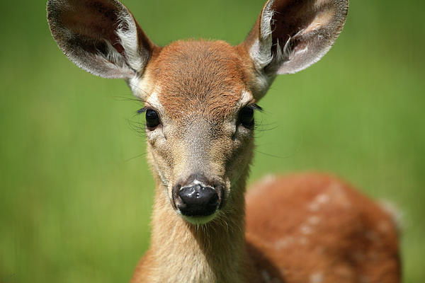Bambi Print by Karol  Livote