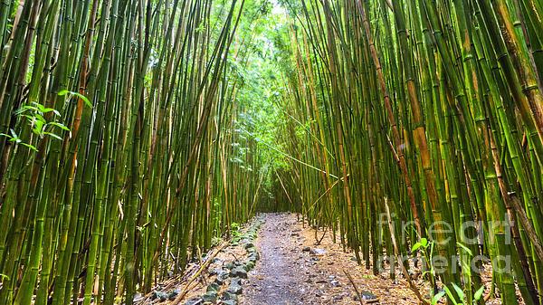 Bamboo Forest Trail Hana Maui 2 Print by Dustin K Ryan