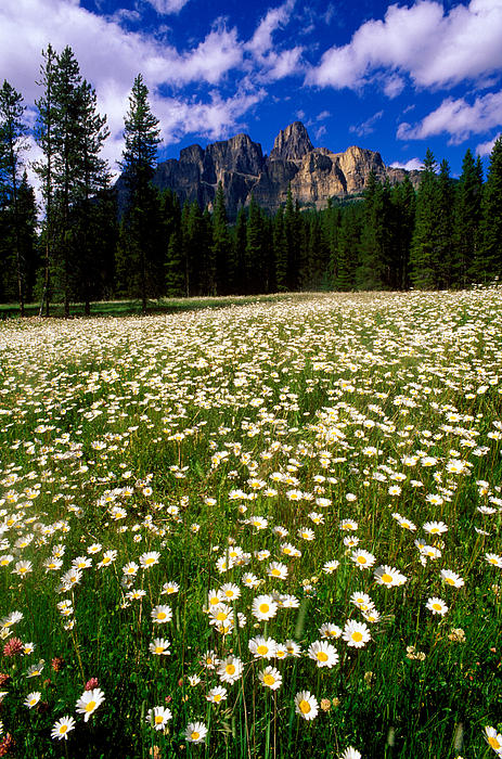 Banff - Castle Mountain Daisies Print by Terry Elniski