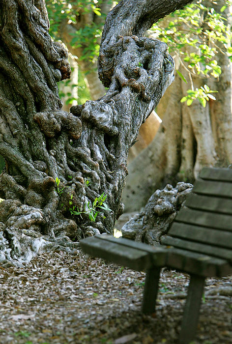 Banyan Tree And Park Bench Print by Dennis Clark
