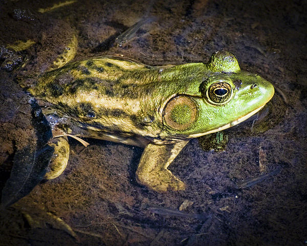 Barataria Swamp Frog Print by Ray Devlin