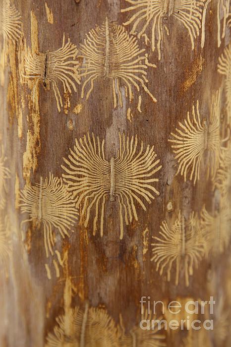Bark Beetle Galleries Print by Ted Kinsman
