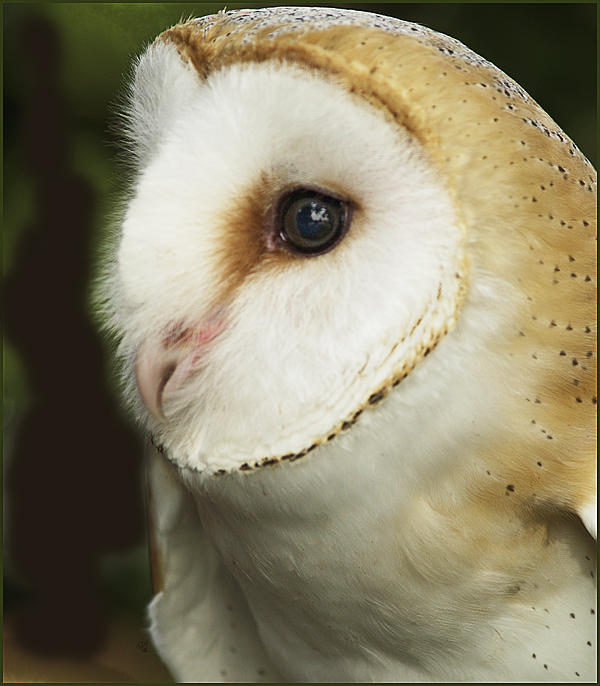 Barbara Middleton - Barn Owl Close-up