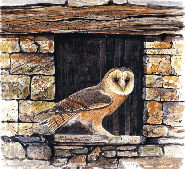 Dag Peterson - Barn Owl in an old Crete barn