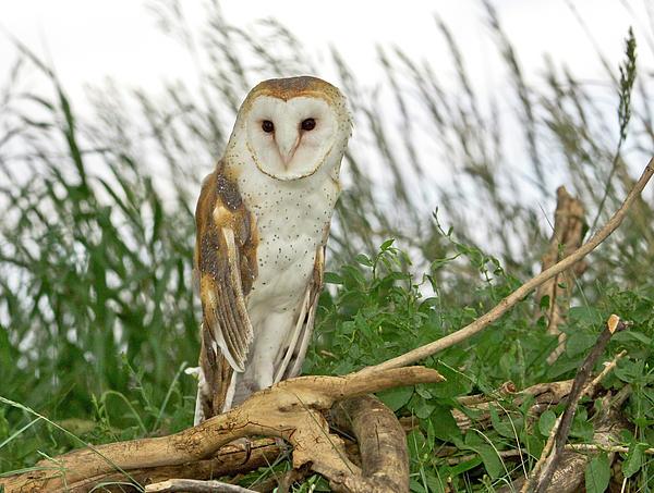 Barn Owl Print by James Steele