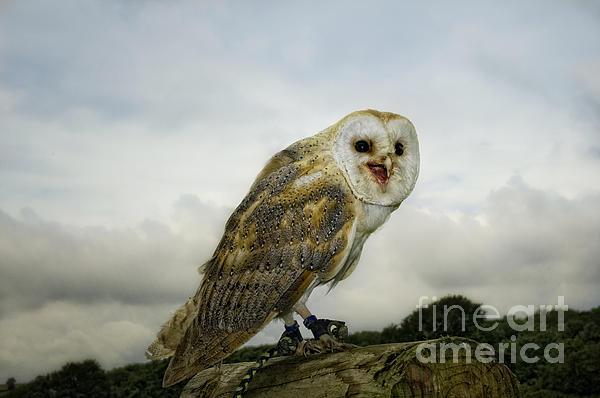 Sue Fulton - Barn Owl