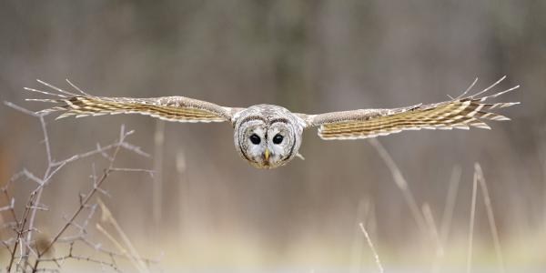 Scott  Linstead - Barred Owl in Flight