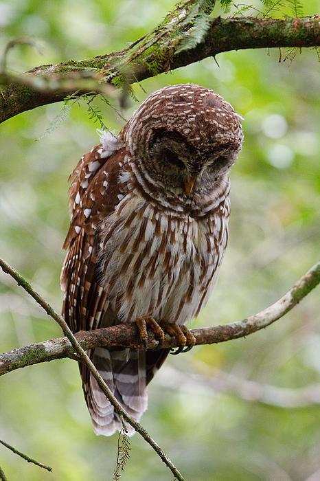 Barred Owl Print by Joe Elliott