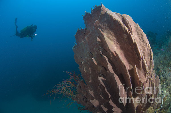 Barrel Sponge And Diver, Papua New Print by Steve Jones