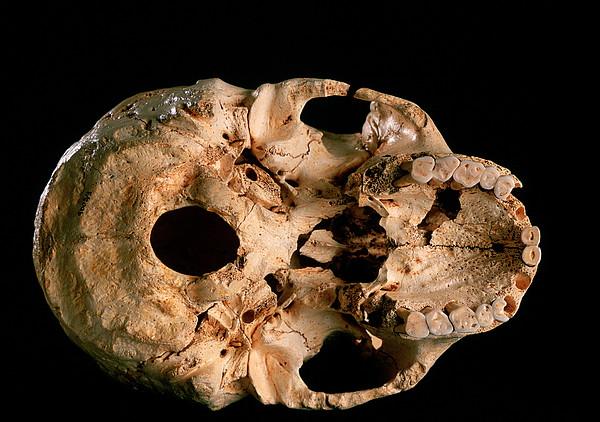 Base Of Skull 5, Sima De Los Huesos Print by Javier Truebamsf