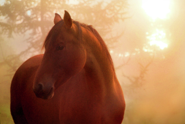 Bay Horse In Fog At Sunrise Print by Anne Louise MacDonald of Hug a Horse Farm