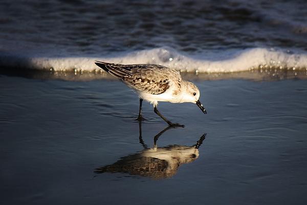 Beach Bird Print by Paulette Thomas
