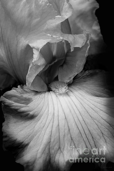 Bearded Iris Flower Black And White Print by Jennie Marie Schell