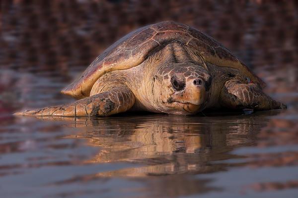 Beaufort The Turtle Print by Susan Cliett