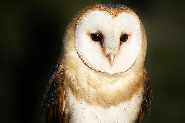 Beautiful Barn Owl Print by Paulette Thomas