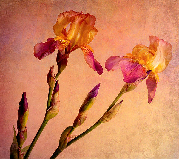Tim Reaves - Beautiful Bearded Irises