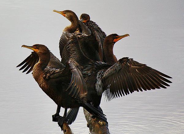 Beautiful Cormorants Print by Paulette Thomas