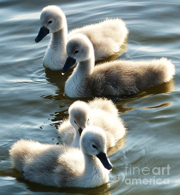 Jason Christopher - Beautiful Cygnets in May