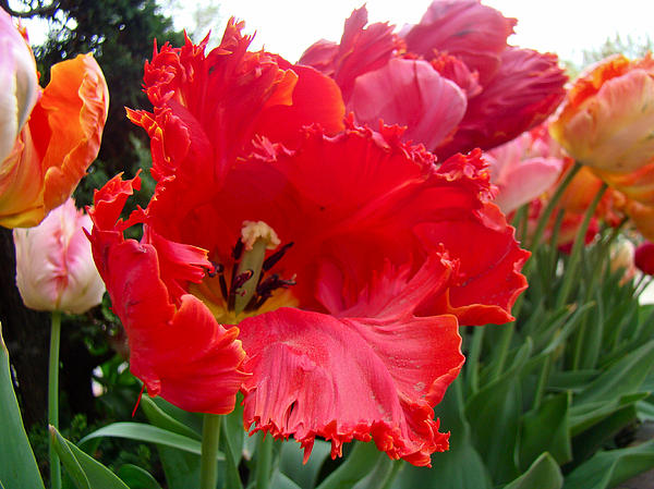 Beautiful From Inside And Out - Parrot Tulips In Philadelphia Print by Mother Nature