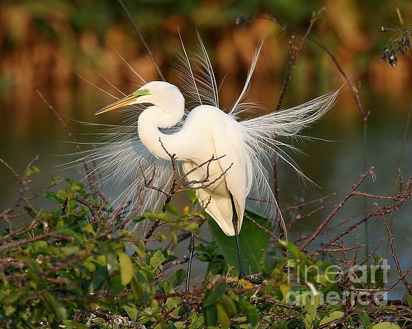 Sabrina L Ryan - Beautiful Great White Egret at Dusk