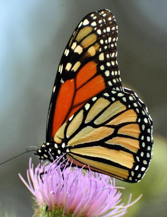 Beautiful Monarch Print by Marty Koch