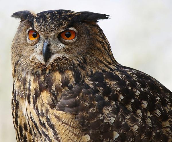 Beautiful Owl Print by Paulette Thomas