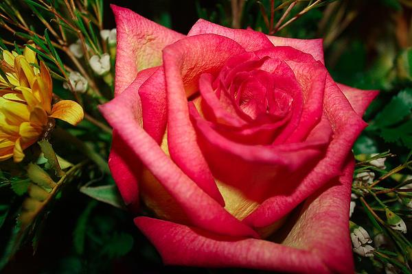 Beautiful Rose Print by David Alexander