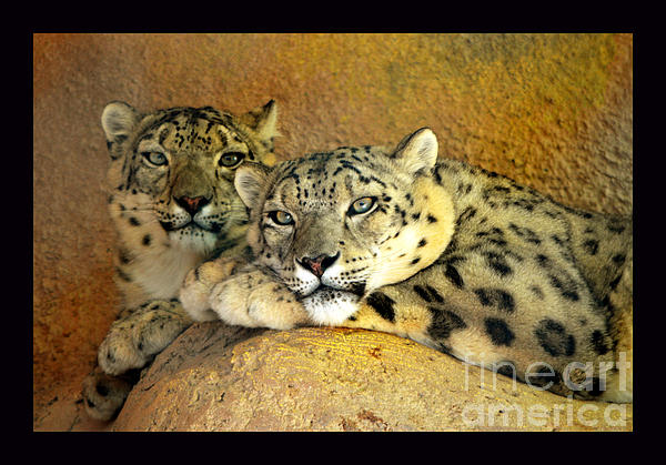 Susanne Still - Beautiful Snow Leopards