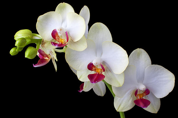 Beautiful White Orchids Print by Garry Gay