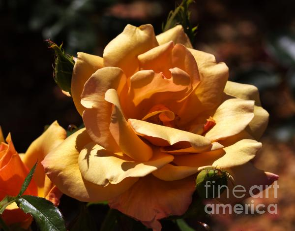 Beautiful Yellow Rose Belle Epoque Print by Louise Heusinkveld