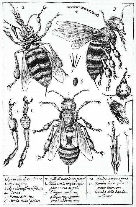 Bee Anatomy Historical Illustration Print by SPL and Photo Researchers