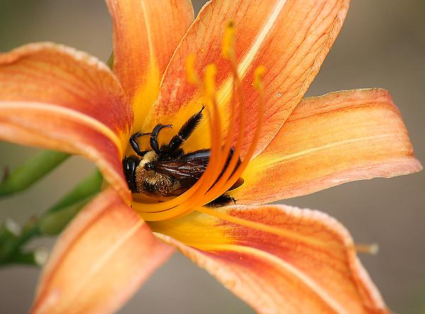 Paulette  Thomas - Bee Nestled in a Flower