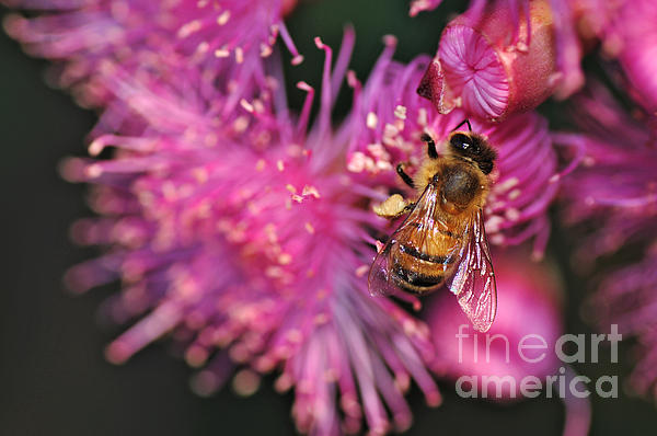 Bee On Lollypop Blossom Print by Kaye Menner