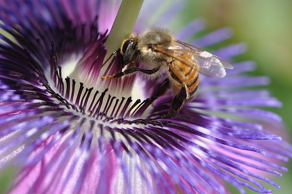 Christine Stonebridge - Bee on Passion Flower