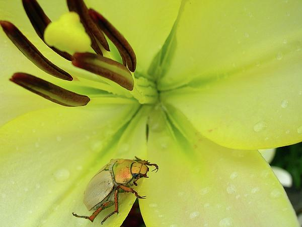 Randy Rosenberger - Beetlemania