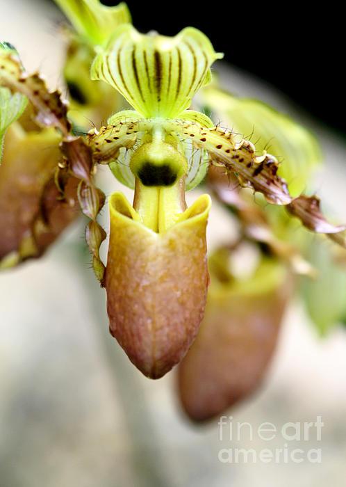 Sabrina L Ryan - Beige Lady Slipper Orchids
