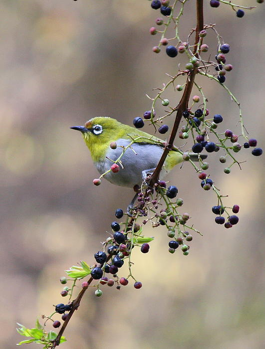 Greeshma Manari - Berry Good-Oriental white-eye