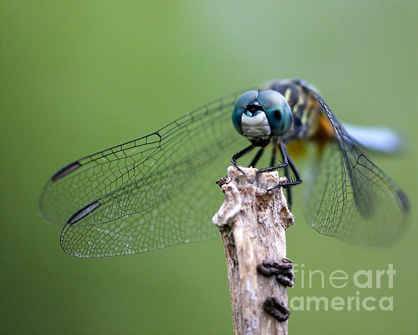 Big Eyes Blue Dragonfly Print by Sabrina L Ryan