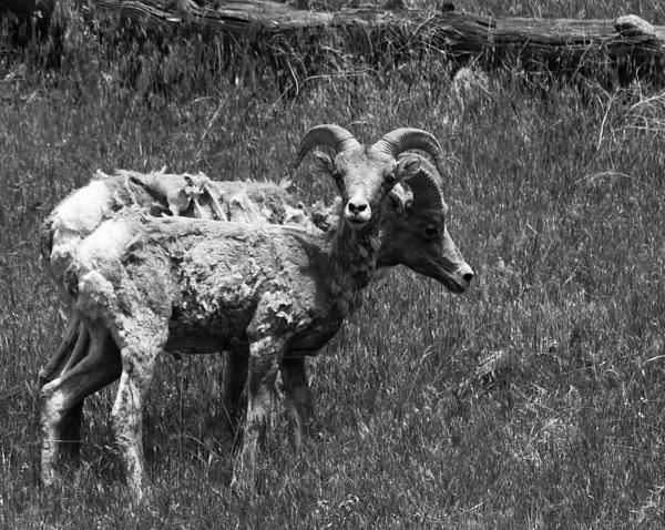 Turner Smith - Big Horn Sheep