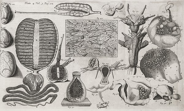 Biological Illustrations, 17th Century Print by Middle Temple Library