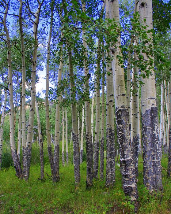 Birch Forest Print by Julie Lueders