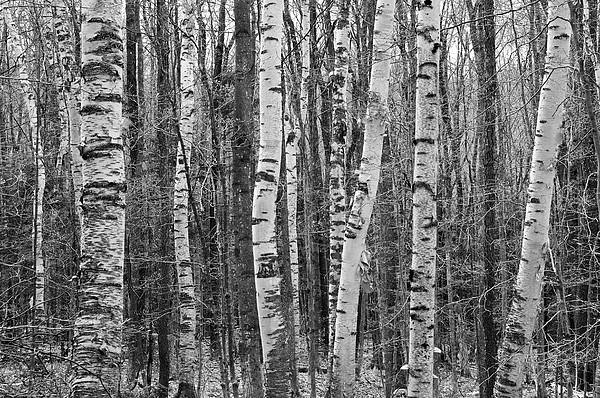 Birch Stand Print by Ron Kochanowski - www.kochanowski.us