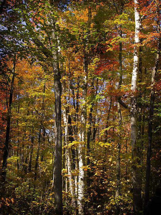Birch Trail Print by Jo-Anne Gazo-McKim